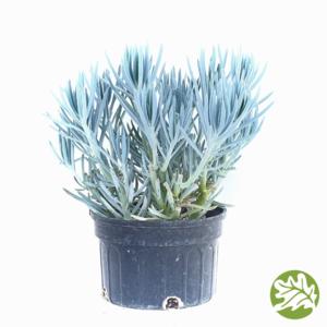 """SENECIO Blue Jumbo 8"""" pot #3588"""